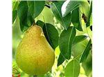 نهال میوه گلابی بیروتی