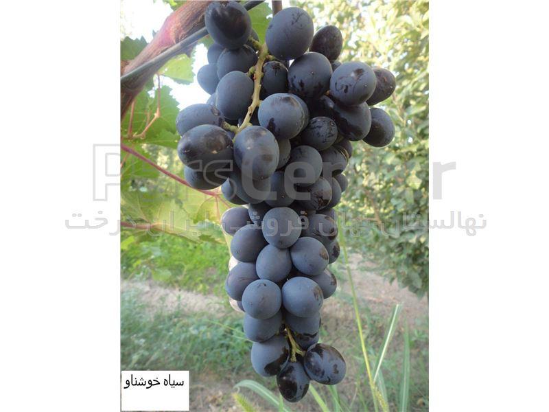 درخت انگورمریوان-انگور سیاه مریوان-نهال انگور سیاه