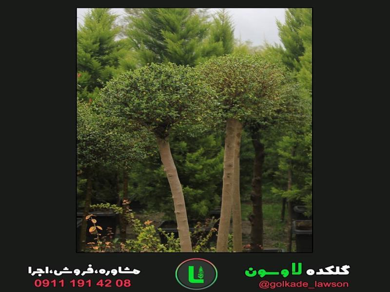 درختچه مورد