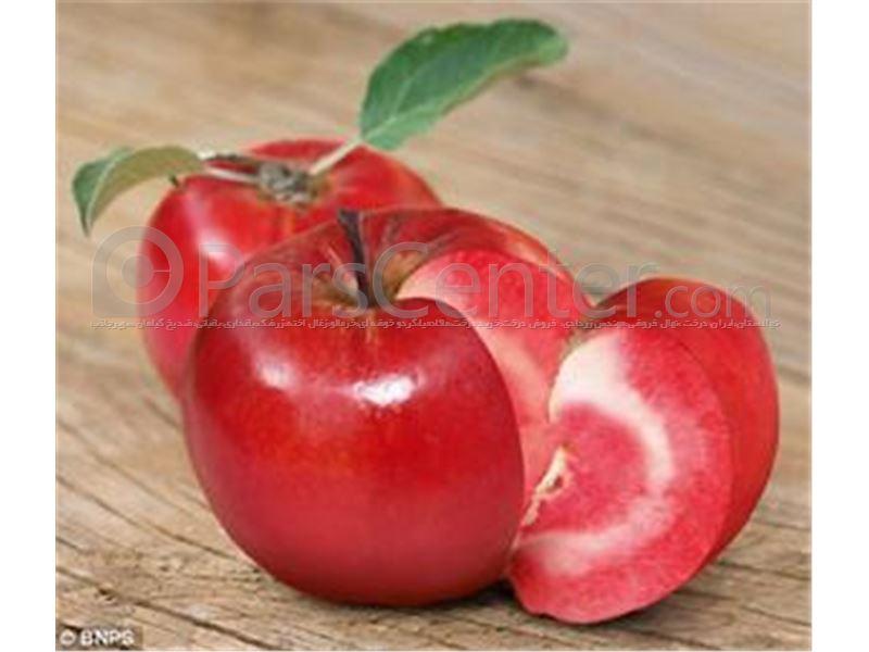 سیب تو سرخ#نهال سیب تو سرخ#درخت سیب تو سرخ#APPLERedlove