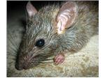 چسب موش ـ از بین برنده موش ـ دفع موش