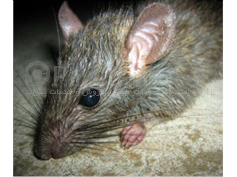 چسب موش ، تله موش