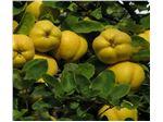 نهال میوه به اصفهان