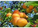 نهال میوه زرد آلوی قیسی