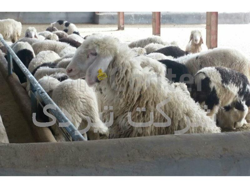 شماره گوش گوسفند لیزری