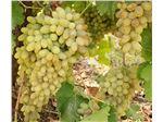 نهال میوه انگور فخری