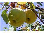 نهال میوه به محلی