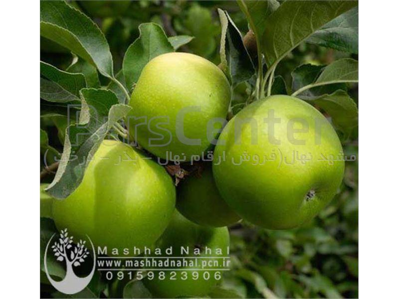 نهال سیب گرین اسمیت - سیب سبز فرانسوی - سیب ترش