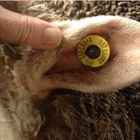 Sheep & Goat ear tag