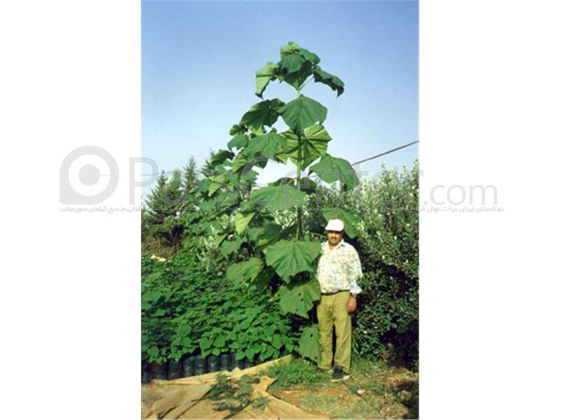 نهال پالونیا ،درخت پالونیا،tree Paulownia