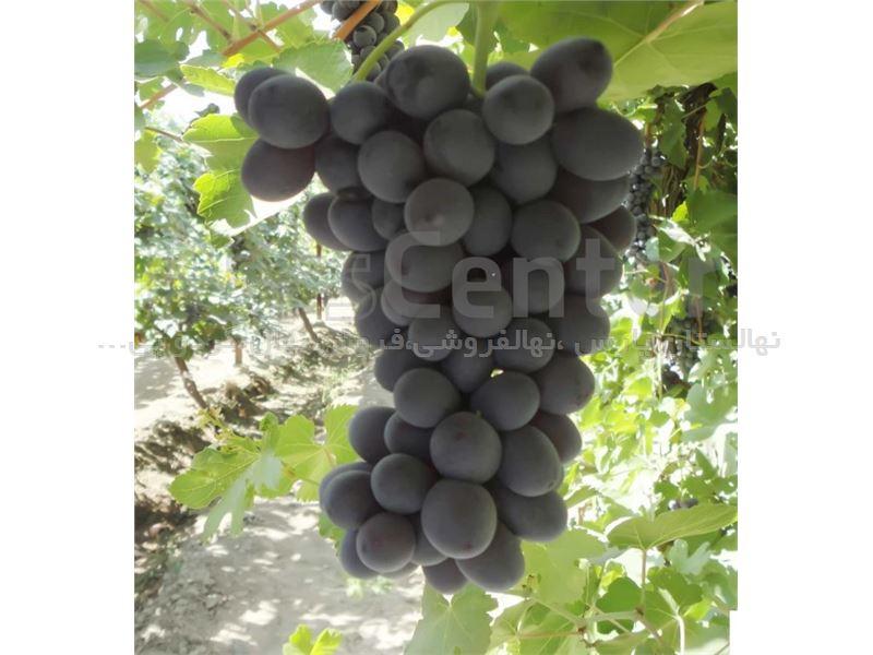 نهال انگور شاهانی
