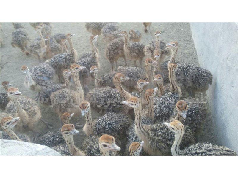 جوجه شتر مرغ 1 ماهه (گردن آبی)