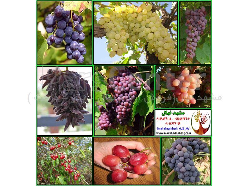 نهال انگور کریمسون - Crimson - نهال گلدانی انگور کریمسون