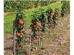 نهال پایه رویشی پایه های مالینگ ـ مرتون سیب