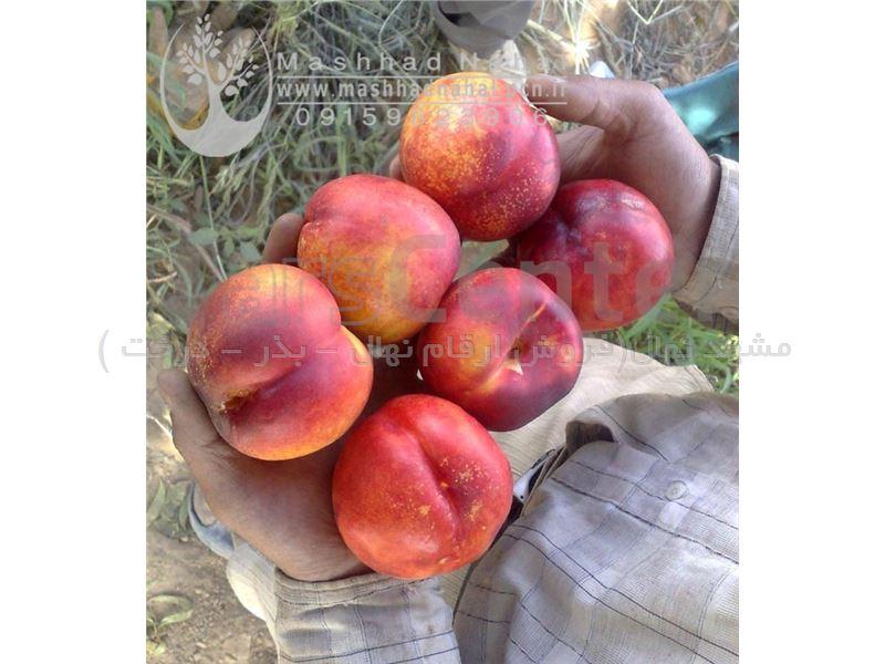 نهال شلیل کیوتا-Nectarine