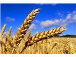 Russian wheat class 3