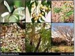 درختان سریع الرشد#سرو نقره ای#عرعر#دم موشی# زیتون تلخ ،چنار،فسدروس،افراسیاه،اقاقیا-پائولونیا،توت امریکایی،لاله،ابریشم