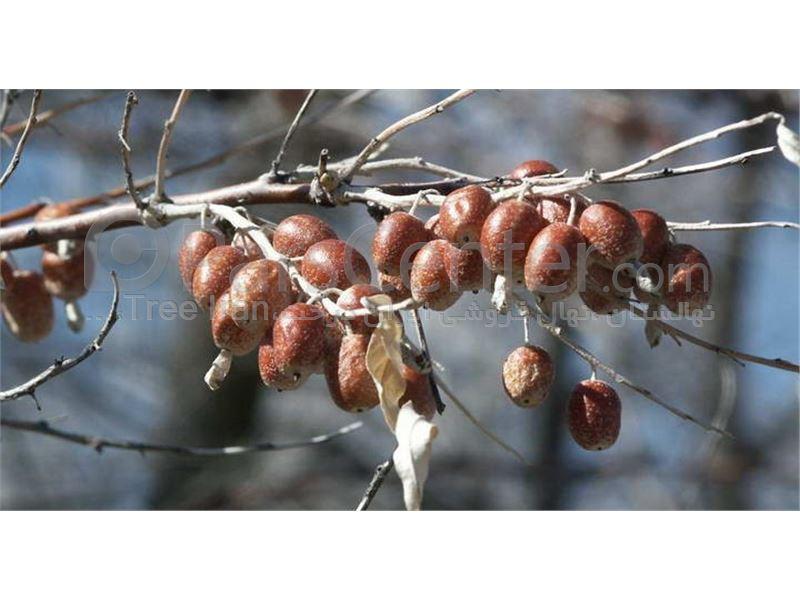 سنجد_نهال سنجد_درخت سنجد_Oiltree – Oleaster – Russian olive