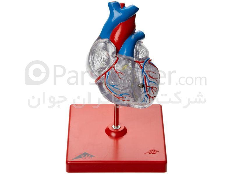 مولاژ قلب با نمایش رگهای کرونری
