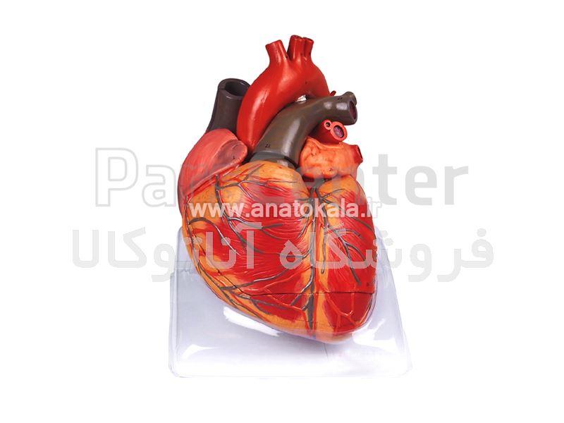 مدل قلب انسان