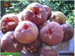 نهال میوه انجیر قهوه ای