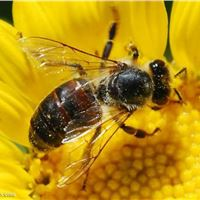 دارو و مکمل زنبور عسل