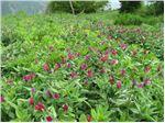 فروش گل گاوزبان ایرانی Echium amoneum