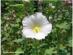 گل ختمی سفید درجه یک ارگانیک180000ریال
