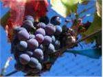 انگور فرانسوی#Grape France