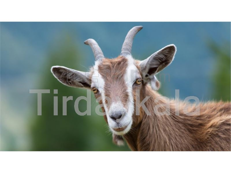 Curved ear tag for Goat