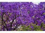 درخت نورا،Fern tree, Green ebony tree, Jacaranda,