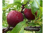 نهال میوه  آلو سانتریزه