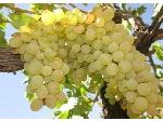 پیش فروش انواع نهال انگور در نهالستان آذربایجان