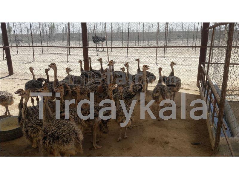 Ostrich neck tag - Chicken