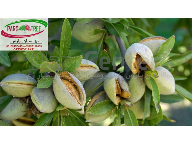 بادام دیرگل -نهال بادام رقم شکوفه- almond