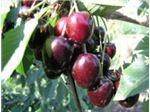 گیلاس فرنگی-نهال گیلاس فرنگی مشهد-tree cherry