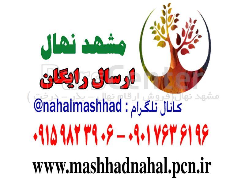 نهال گل محمدی - پاجوش گل محمدی - قلمه گل محمدی