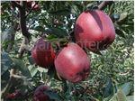 سیب  استارکینگ فرانسه