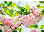 پوستر شکوفه گیلاس