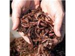 فروش کود ارگانیک ورمی کمپوست و کرم گونه ایزینیا فتیدا بالاترین کیفیت بهترین و مناسبترین قیمت