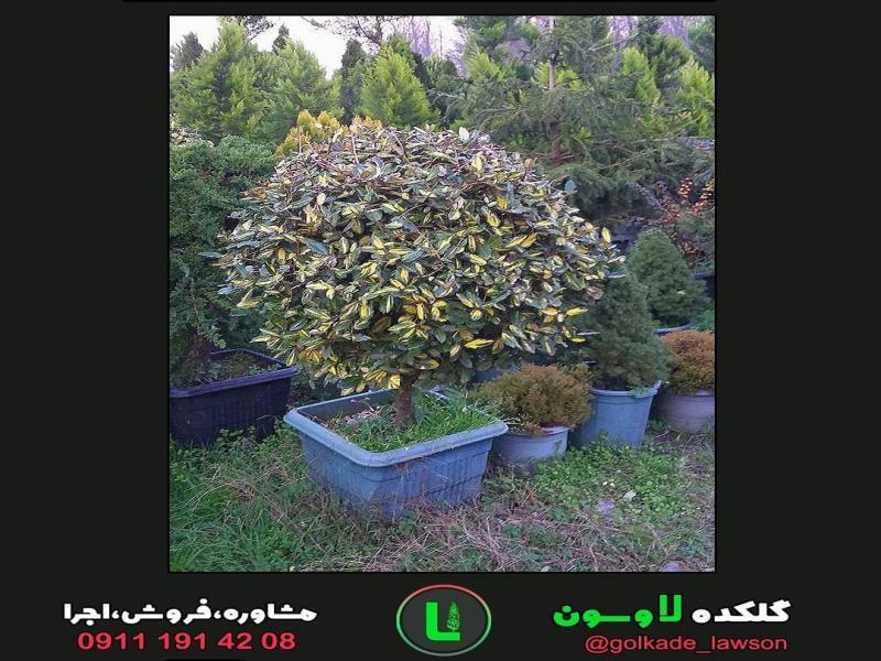 درختچه الیاگنوس
