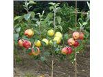 درختان ترکیبی_نهال چند نوع میوه