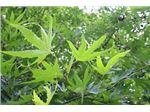 چنار،درخت چنار،Platanus occidentalis