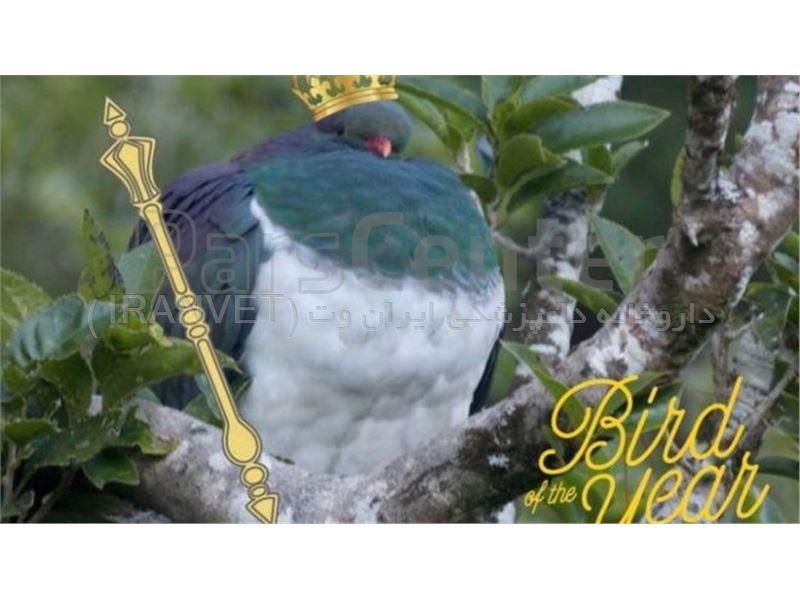 کبوتر مست، پرنده سال نیوزیلند شد