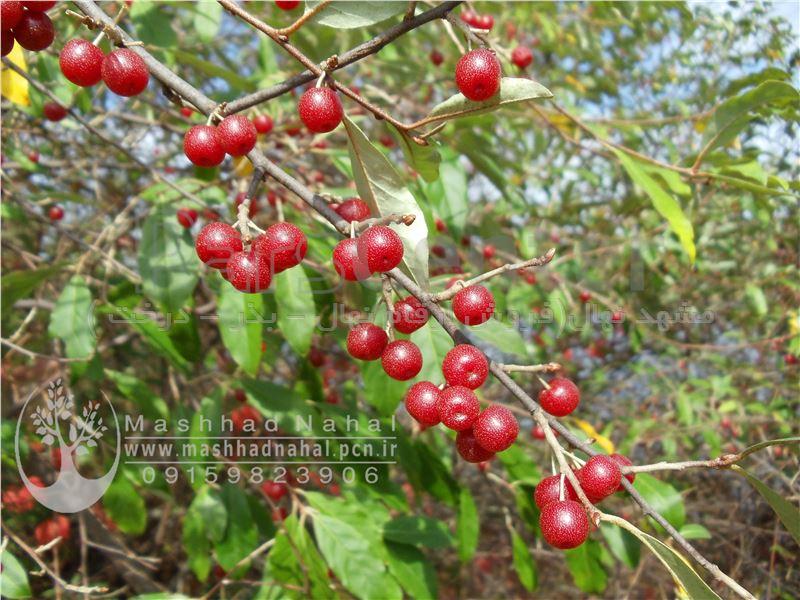 نهال انگور ژاپنی-انگور فرنگی
