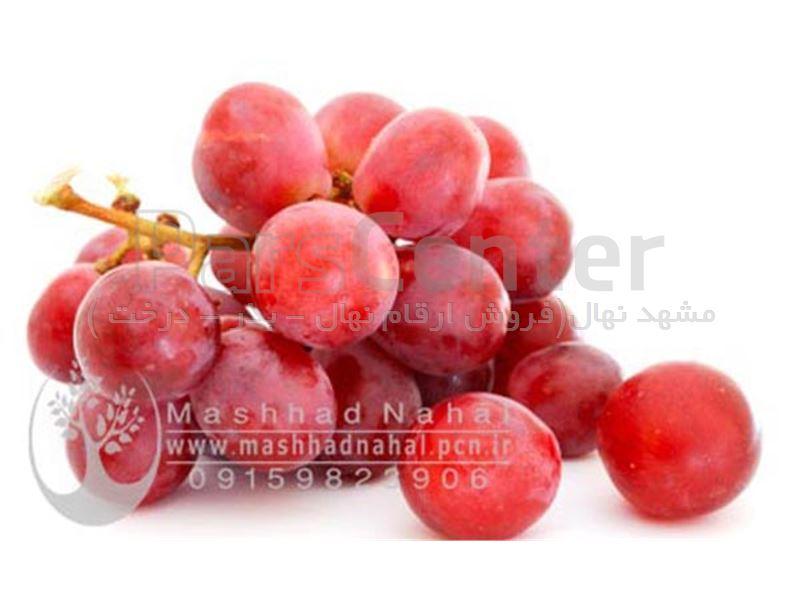 نهال انگور ردگلوب-RedGlobe-نهال گلدانی انگور ردگلوب