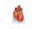 مولاژ قلب انسان
