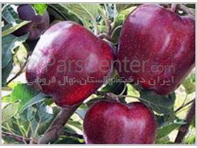 سیب رد چیف-ایران درخت-نهالستان مهندس زردادی
