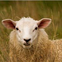 پلاک گوش گوسفند و بز