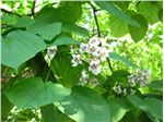 جوالدوزک،Catalpa bignonioides Plant،سرده